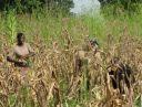 Recolte du mais au noviciat de Sokode